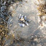 Mexilhões, areia, e alga vivos do lado do oceano fotografia de stock royalty free