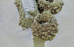 Mexilhões no rio stone_2 Fotos de Stock Royalty Free
