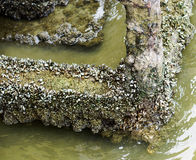 Mexilhões no rio stone_3 Foto de Stock Royalty Free