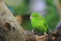 Mexixan parrotlet Royalty Free Stock Photography