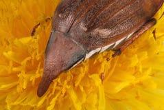 Mey bug ovipositor Royalty Free Stock Image