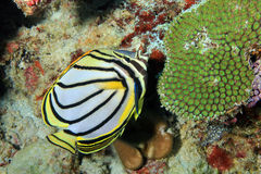 Meyer's Butterflyfish Royalty-vrije Stock Afbeelding