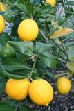 яркий желтый цвет meyer лимонов стоковое изображение