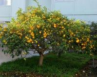 Meyer-citroenboom, in de binnenplaats van Californië royalty-vrije stock foto