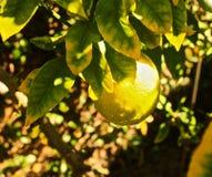 Meyer Lemon. Fresh yellow Meyer Lemon hangs from branch of a lemon royalty free stock photo