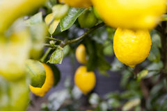 Meyer lemon tree Stock Photo