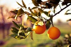 Meyer lemon tree fruits Stock Photo