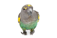 Meyer Parrot Stock Photos