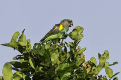 Meyer's (Brown) Parrot, Calling Royalty Free Stock Photos