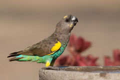 Meyer's parrot Royalty Free Stock Photo