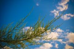 Meyeri Boiss arbusto do Tamarix contra o céu azul Imagem de Stock Royalty Free