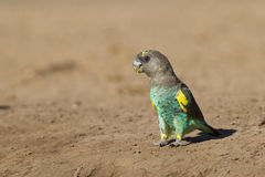Meyers papuga, Botswana (Poicephalus meyeri) Obrazy Stock