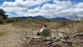 Mezcal Zona de Fotografering för Bildbyråer