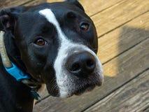 Mezcla blanco y negro del pitbull Imágenes de archivo libres de regalías