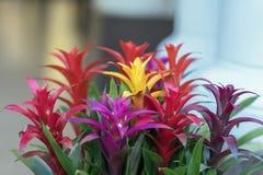 Mezcla de Guzmania brillante colorido, representante fino de la bromelia o familia de piña, líder en el diseño de interiores imagen de archivo libre de regalías