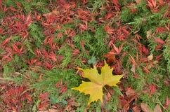 Mezcla de hoja amarilla del árbol plano, de enebro verde y de follaje rojo del arce japonés foto de archivo