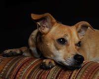 Mezcla de la chihuahua Foto de archivo