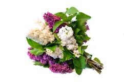Mezcla de ramo púrpura y del blanco de la lila común (syringa) aislado Imágenes de archivo libres de regalías
