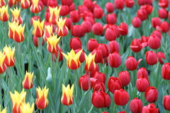 Mezcla de tulipanes coloridos en el parque de Hong-Kong Victoria Fotos de archivo libres de regalías