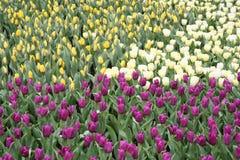 Mezcla de tulipanes coloridos en resorte imagenes de archivo