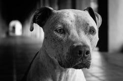Mezcla del pitbull blanco y negro Fotos de archivo