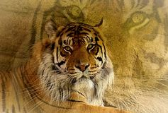 Mezcla del retrato del tigre imágenes de archivo libres de regalías