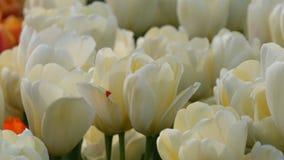 Mezcla hermosa de tulipanes blancos en el parque real famoso Keukenhof Opinión cercana Países Bajos, Holanda del campo del tulipá almacen de metraje de vídeo