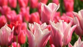 Mezcla hermosa de tulipanes brillantes del rosa y blancos en el parque real famoso Keukenhof Opinión cercana del campo del tulipá metrajes