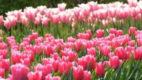 Mezcla hermosa de tulipanes brillantes del rosa y blancos en el parque real famoso Keukenhof Opini?n cercana del campo del tulip? almacen de metraje de vídeo