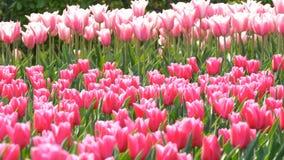 Mezcla hermosa de tulipanes brillantes del rosa y blancos en el parque real famoso Keukenhof Opini?n cercana del campo del tulip? metrajes