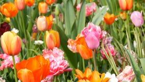 Mezcla hermosa de tulipanes multicolores en el parque real famoso Keukenhof Opinión cercana Países Bajos del campo del tulipán almacen de metraje de vídeo