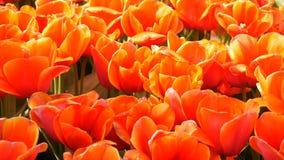 Mezcla hermosa de tulipanes rojos anaranjados grandes brillantes en el parque real famoso Keukenhof Opini?n cercana del campo del almacen de metraje de vídeo