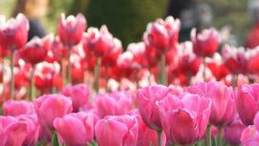 Mezcla hermosa de tulipanes rojos y blancos brillantes en el parque real famoso Keukenhof Opini?n cercana del campo del tulip?n almacen de video