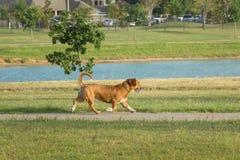 Mezcla linda del corgi Galés del beagle que corre en un parque del perro Fotografía de archivo
