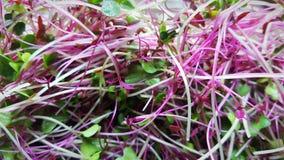 Mezcla nutritiva de Microgreen foto de archivo libre de regalías