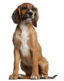 Mezclado-críe el perrito, 12 semanas de viejo, sentándose fotografía de archivo