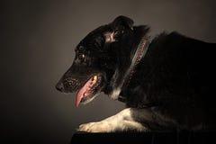 Mezclado-Críe el perro imagen de archivo libre de regalías