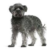 Mezclado-críe el perro, 4 años, colocándose fotografía de archivo