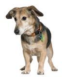 Mezclado-críe el perro, 7 años, colocándose imagen de archivo