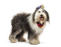 Mezclado-críe el perro delante del fondo blanco imágenes de archivo libres de regalías