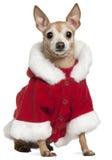 Mezclado-críe el perro que desgasta el equipo de Santa fotos de archivo