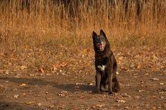Mezclado-Críe la sentada del perro fotografía de archivo