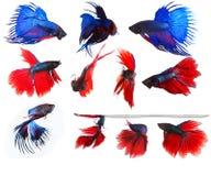 Mezclado de unde completo siamés azul y rojo del cuerpo del betta de los pescados que lucha Foto de archivo libre de regalías
