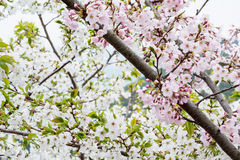 Mezcle el flor blanco y rosado partido con la rama Imagen de archivo