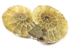 Mezza ammonite del taglio immagine stock