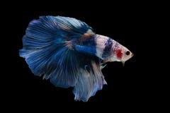 Mezzaluna Betta Fish operata Immagini Stock