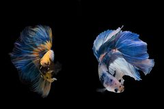 Mezzaluna Betta Fish operata Fotografie Stock Libere da Diritti