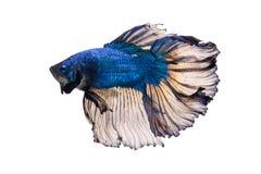 Mezzaluna Betta Fish operata Immagini Stock Libere da Diritti