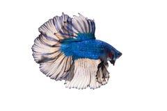 Mezzaluna Betta Fish operata Fotografia Stock
