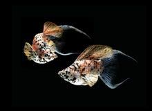 mezzaluna dei pesci del molly munita sulla parte posteriore del nero Immagine Stock